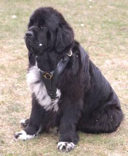 newfoundland leather dog harness with handle
