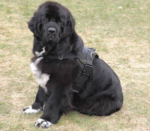 Adjustable Nylon dog harness with handle for newfoundland
