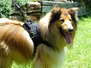 Adjustable Nylon dog harness with handle for collie