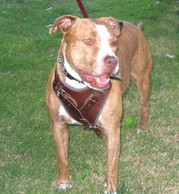 pitbull dog harness pit bull dog breed