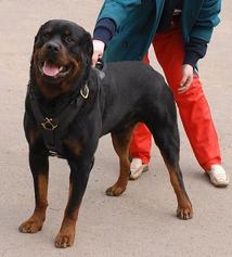 rottweiler dog harness with handle